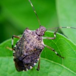 marmorated stinkbug adult