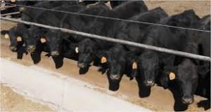 Cover photo for FDA Ruling on Antibiotics for Livestock