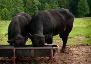 2 black cows eating out of a feeder