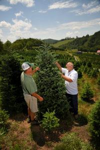 Two men choosing a fraser fir tree