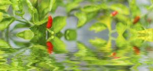 flooded chili plant