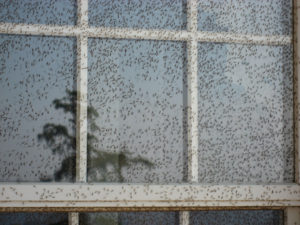 Hundreds of midges resting on the window of a home
