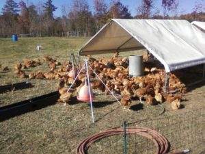 Cover photo for Clay County Backyard Poultry Symposium Cancelled