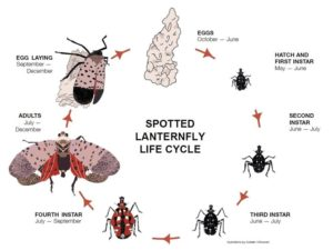 Cover photo for Spotted Lanternfly
